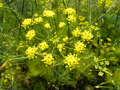 brassica(0.0), apiales(0.0), cow parsley(0.0), common rue(0.0), rue(0.0), produce(0.0), common tansy(0.0), food(0.0), shrub(1.0), flower(1.0), plant(1.0), mustard(1.0), subshrub(1.0), herb(1.0), anthriscus(1.0), wildflower(1.0), flora(1.0), meadowsweet(1.0),