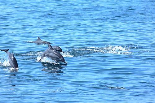 3W70-龜山島-長吻飛旋海豚