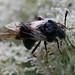 Small photo of Abia (Zaraea) fasciata - Honeysuckle Sawfly