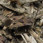avar-díszesbodobács - Rhyparochromus pini