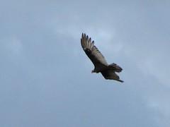 animal, bird of prey, eagle, wing, fauna, buzzard, accipitriformes, bird, flight, condor,