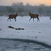 Red Deer in the Dutch wintry polder