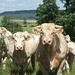 Small photo of Local Charolais herd