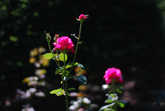 Bright Pink Roses in the Sun at the Public Garden