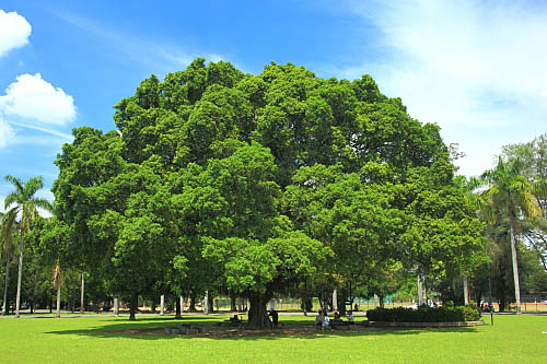 64a9屏东糖厂-大榕树 | flickr – 相片分享!