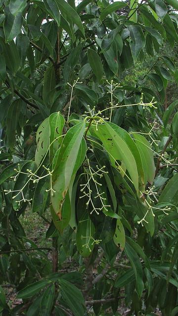 Cinnamomum iners Reinw. ex Blume