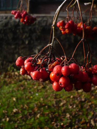 Pretty red berries