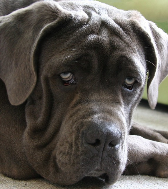 Neapolitan Mastiff | Flickr - Photo Sharing!