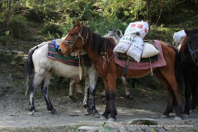 Horses - Annapurna Circuit Trek - Nepal