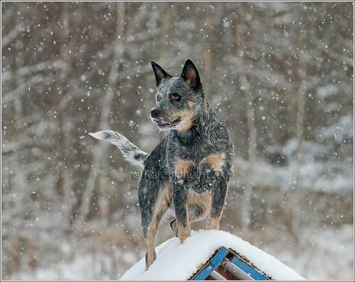 blue winter dog geotagged sweden australian cattledog sverige 28 70200 2009 hoor heeler acd hundar caisa skane höör surstubben karedogs geo:lat=559223333333333 geo:lon=135596666666667