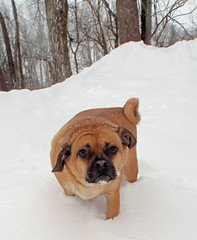 dog breed(1.0), animal(1.0), dog(1.0), puggle(1.0), snow(1.0), pet(1.0), mammal(1.0),
