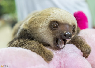 Hoffmann's two-toed sloth Gamboa Wildlife Rescue pandemonio 2017 - 18 | by Eva Blue