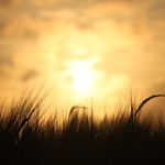 wheatsunset1-flickr