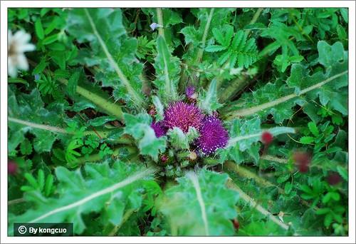 内蒙古植物照片-莲座蓟,菊科蓟属