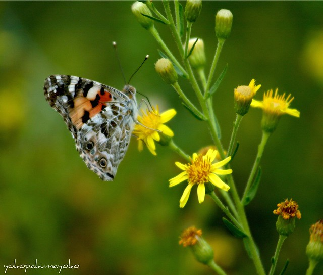 My second butterfly photo.Dedicated to all lovers of butterflies