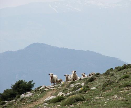 sheep mouton alpesmaritimes pecora coth utelle rubyphotographer mygearandme moyennevésubie ruby10 ruby15