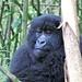 Small photo of Gorilla,Rwanda