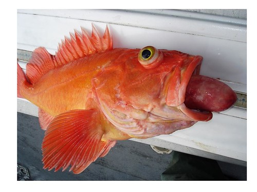 Rock cod fishing in bodega bay opens for 2011 infobarrel for Rock cod fish