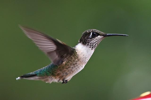 Ruby Throated Hummingbird Fact Sheet For Kids