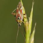 Calocoris roseomaculatus