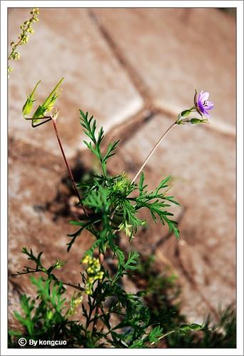 内蒙古植物照片-牻牛儿苗科牻牛儿苗属牻牛儿苗(mang)