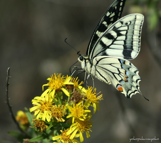 Papilio machaon  <Macaone>