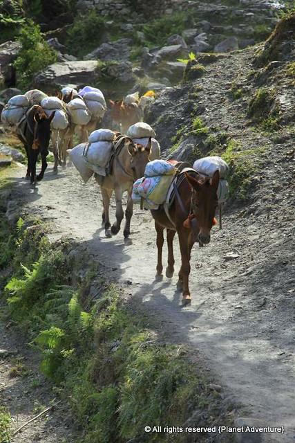Donkey Jam - Annapurna Circuit Trek - Nepal