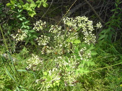 apiales(0.0), shrub(0.0), produce(0.0), flower(1.0), cow parsley(1.0), plant(1.0), subshrub(1.0), herb(1.0), anthriscus(1.0), flora(1.0), meadowsweet(1.0),