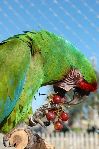 parrot training, training macaws, military macaws, training military macaws