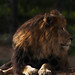 Small photo of Male African Lion