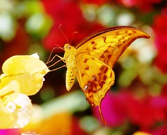 The Yellow Gorgon butterfly .