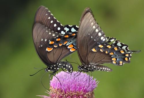 butterfly thistle northcarolina picnik papilio spicebushswallowtail richmondcounty troilus papiliotroilus ellerbe afjranch