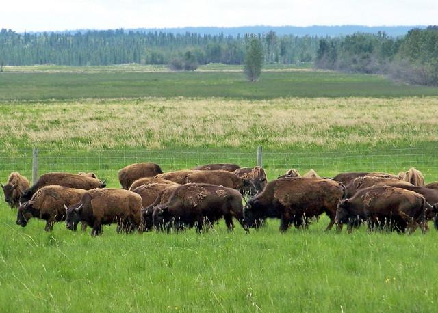 AB09f333 Bison Ranch, Alberta 2009