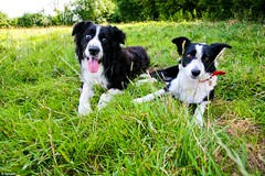 danish swedish farmdog(0.0), puppy(0.0), appenzeller sennenhund(0.0), border collie(1.0), dog breed(1.0), animal(1.0), dog(1.0), grass(1.0), pet(1.0), karelian bear dog(1.0), mammal(1.0),
