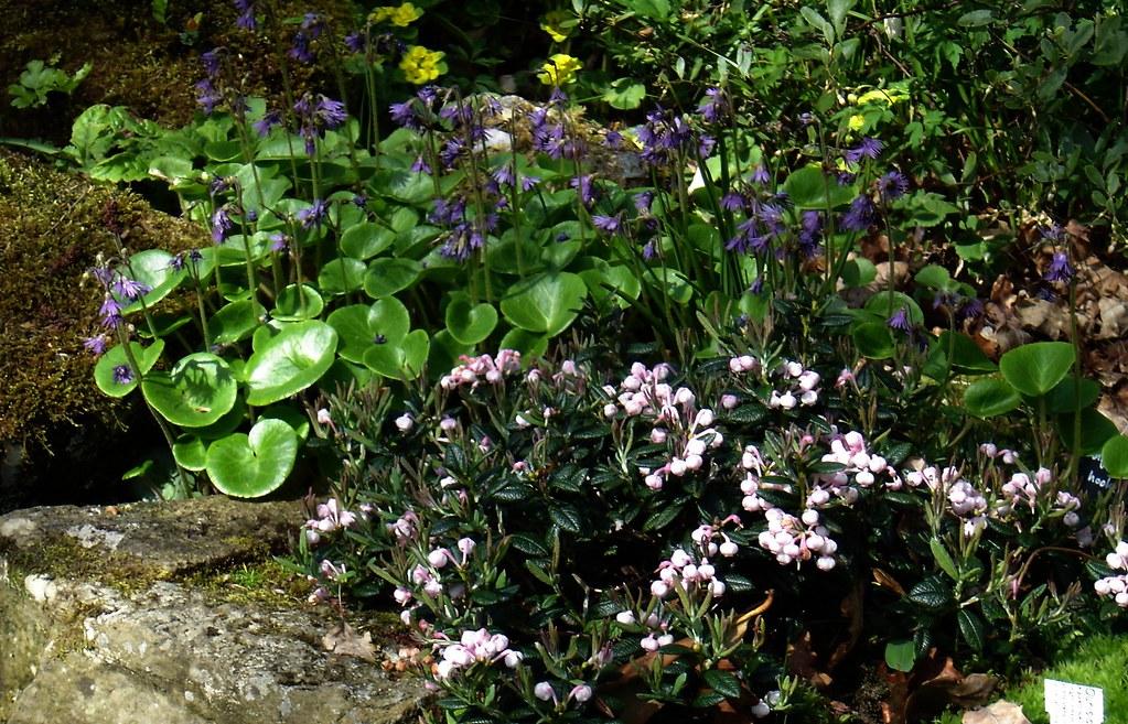 Soldanella villosa & Andromeda macrophylla