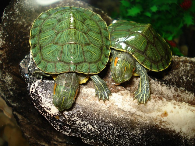 Red ears turtles Flickr - Photo Sharing!