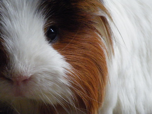 Guinea Pig by little mishy fig
