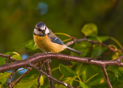 Eurasian Blue Tit - Photo (c) Eli Brager, some rights reserved (CC BY-NC-ND)