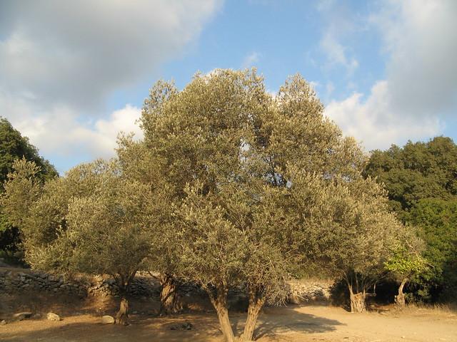 Olive Tree On Mt Carmel Flickr Photo Sharing