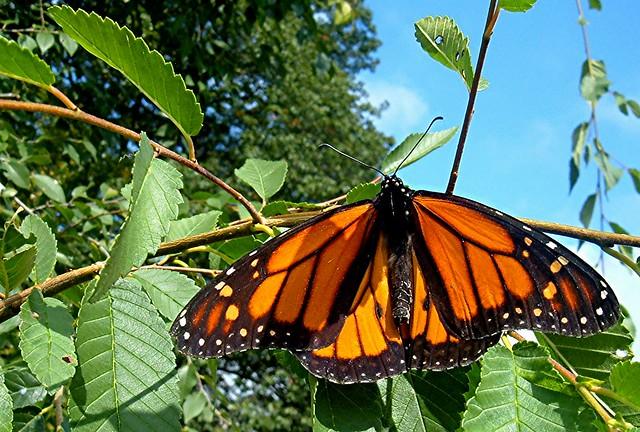 Monarch Butterfly on Tree