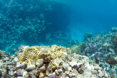 Corail (coral) - Sharm El Sheikh