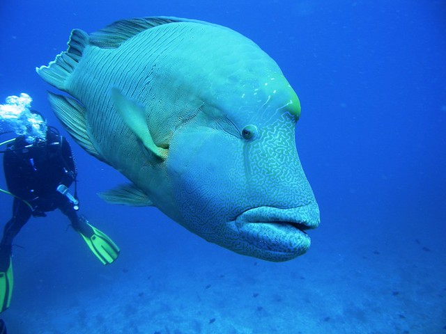 Napoleon fish flickr photo sharing for Is too much fish bad for you
