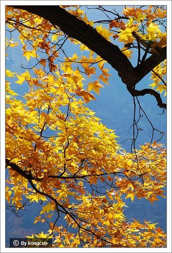 图:槭树科槭树属元宝槭(091024鹫峰)