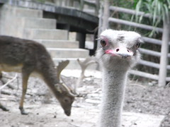 emu(1.0), animal(1.0), zoo(1.0), ostrich(1.0), flightless bird(1.0), fauna(1.0), beak(1.0), bird(1.0), ratite(1.0), wildlife(1.0),