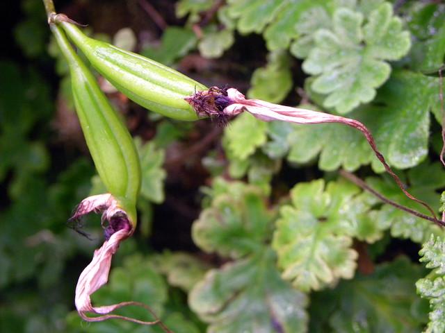 seed pod of hybrid Bulbophyllum apendiculatum x Bublbophyllum apendiculatum