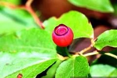 ripening huckleberry    MG 0092