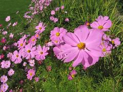 marguerite daisy(0.0), annual plant(1.0), flower(1.0), garden cosmos(1.0), plant(1.0), wildflower(1.0), flora(1.0), meadow(1.0), cosmos(1.0), petal(1.0),