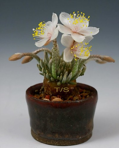 Avonia alstonii flower detail