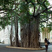 Small photo of Cool tree at American University of Beirut