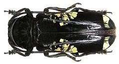 Phosphorus virescens (Olivier, 1795)